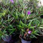 ruellia-brittoniana-purple-showers