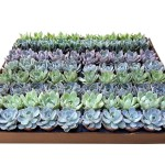 2inch_echeveria-assortment