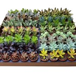 2inch_succulent_Assortment