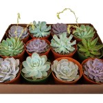 6inch_echeveria_Mix