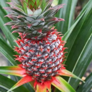 Pineapple Plant Florida Special